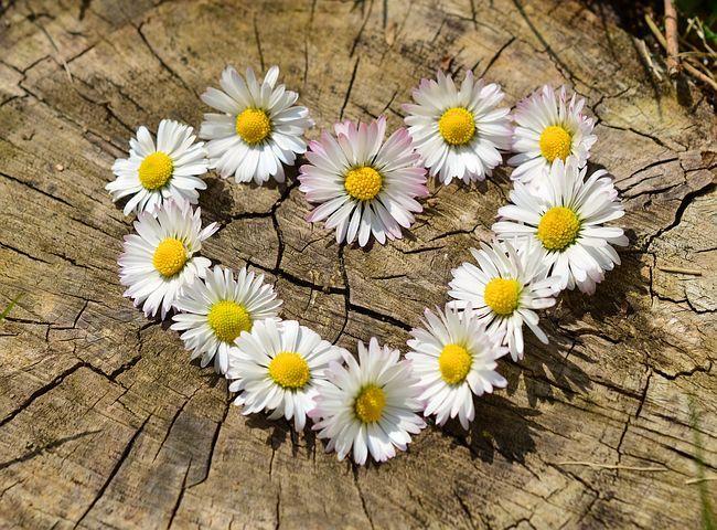 coeur fleur paquerette marguerite
