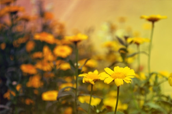fleur fleurs jaune
